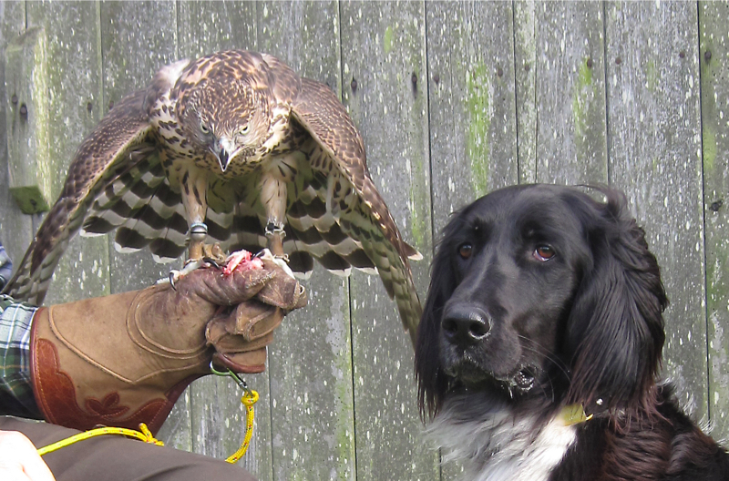Gracie Munsterlander with Ike a Northern Goshawk