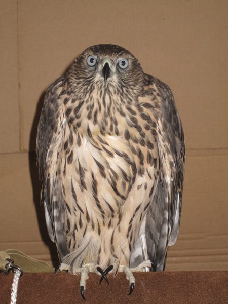 """Ike"" a parent reared male Goshawk."
