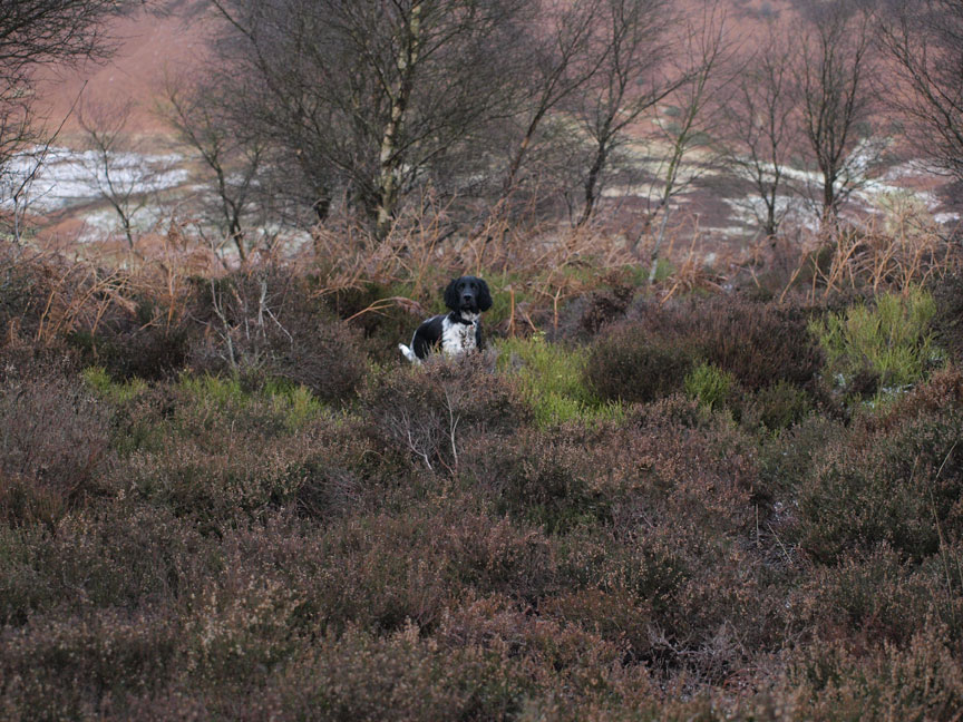 Gracie checks out the heather at Horcum
