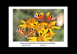 Butterfly photos and British Wildlife